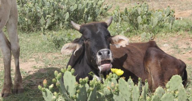 Photo of bull in Kenya after eating prickly pear cactus