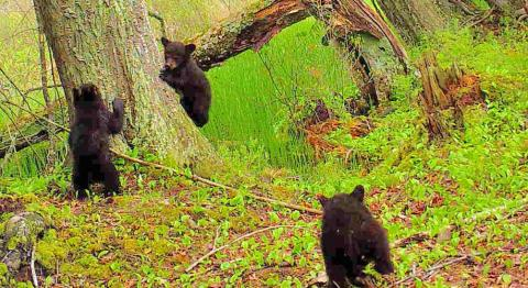 Photo of bear cubs
