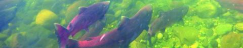 Photo of salmon in stream