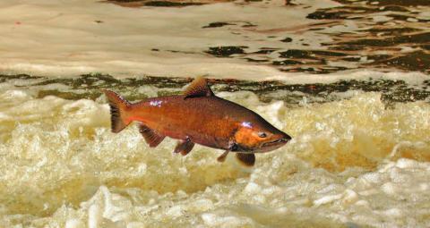 Photo of Chinook salmon