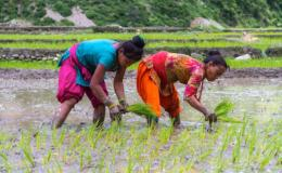 Photo of two women working in a rice field.