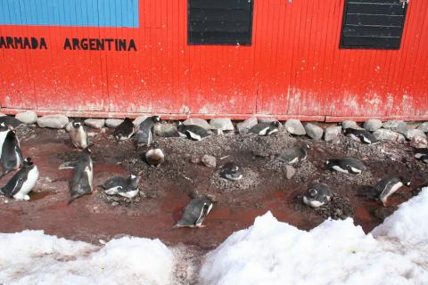 Gentoo penguins nesting at the base of an emergency hut at Petermann Island, Antarctica