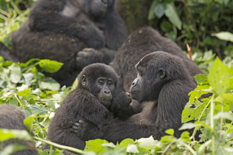 Photo of gorillas in a rainforest
